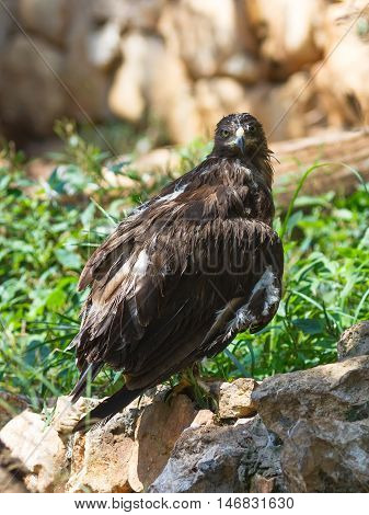 Lesser Spotted Eagle - Aquila Pomarina - is sitting on a rock and looking out for prey
