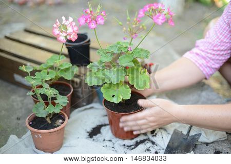 Woman's Hands Transplanting Succulent Into New Pot. Gardening Ou