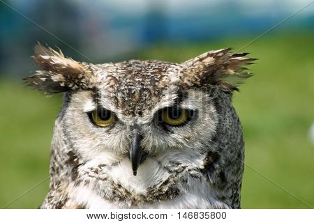 Owl with distinctive ear tufts and yellow eyes. This looks like one of the eagle owl species. Blue and green blurred background.