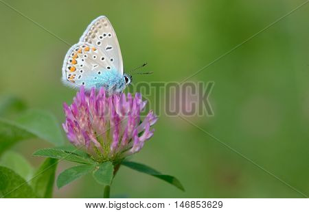 Common Blue (Polyomathus icarus) butterfly, cloae up