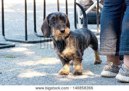 dog - Wirehaired Dachshund peeking out from under the feet of the mistress