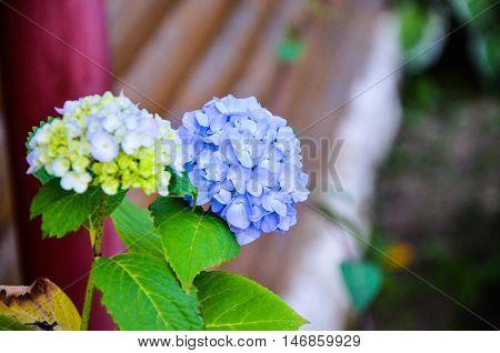 Slight blue hydrangea flower in front of blue hydrangea flower