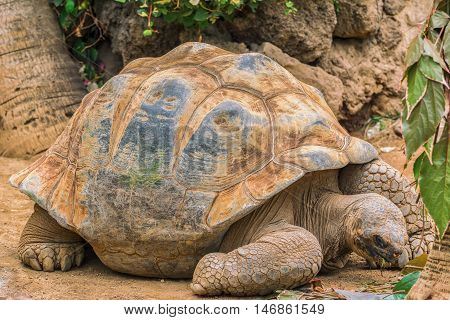 A giant Galapagos turtle, Galapagos islands, Ecuador