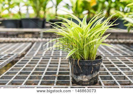 Chlorophytum comosum (spider plants) in a pot for sale.