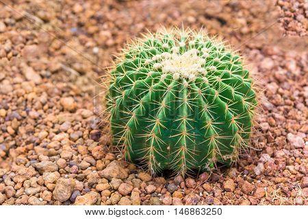 A Small green cactus in desert garden.