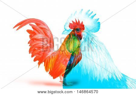 Double Color Exposure of Bantam Chicken isolated on white background.