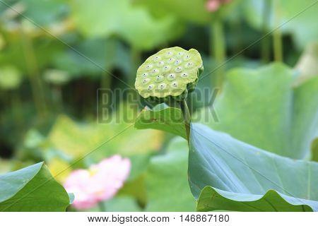 Lotus seedpod and leaves,lotus seedpod growing in the pond in summer,lotus seed,lotus fruit