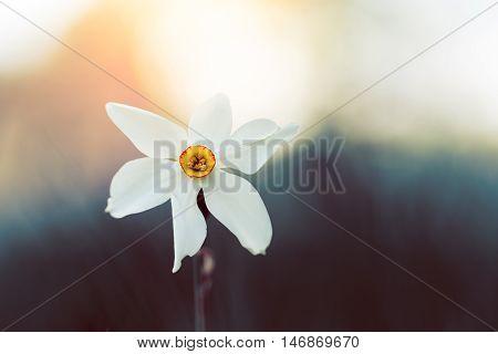 White Daffodil Flower Against Blurred Background
