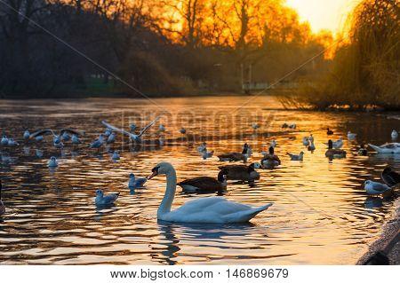 Calm swan swimming on lake at sunset. Vintage effect.