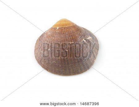 Brown Clam