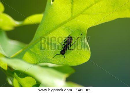 A large black carpenter ant gaurding and tending a catapillar near it's nest on an oak tree. poster