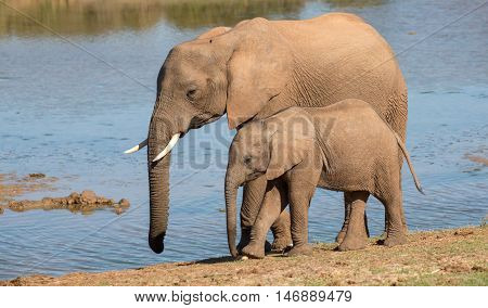 African elephant mother with it young calf along side