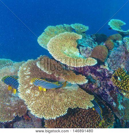 Oriental sweetlips (Plectorhinchus vittatus)  under coral Maldives
