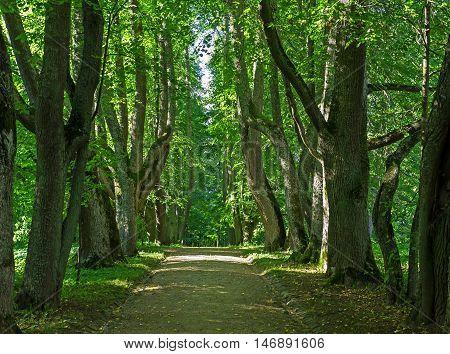 Oak alley summer landscape. Petrovskoye. Pskov region. Russia. poster