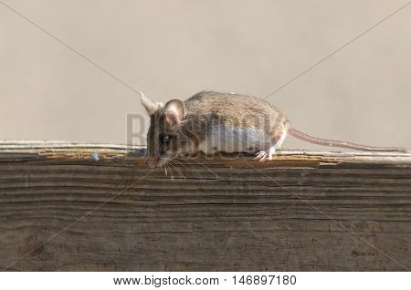 Clsoup of a field mouse sitting on a fence