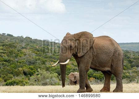 I Am Way To Big The African Bush Elephant