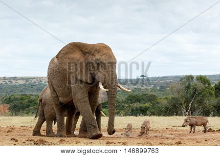 Gentle Giant The African Bush Elephant