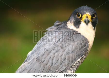 Peregrine Falcon (1629)
