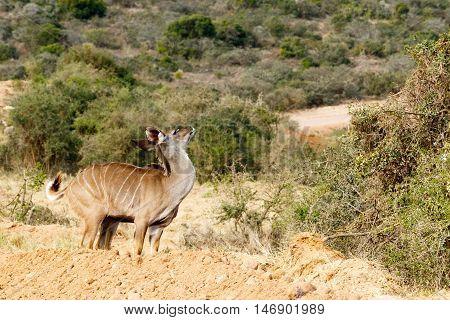 Kudu Just Me - Tragelaphus Strepsiceros