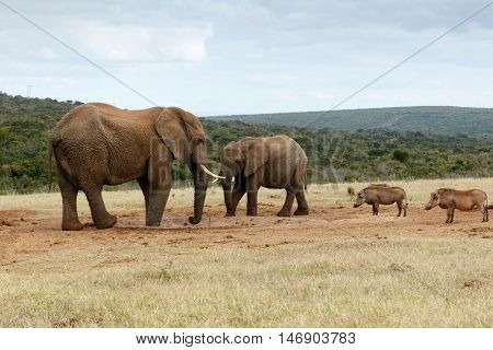 We Want Water No - The African Bush Elephant