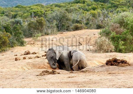 Come On Brother You Are And African Bush Elephant