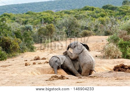 Lets Play Brother You Are And African Bush Elephant