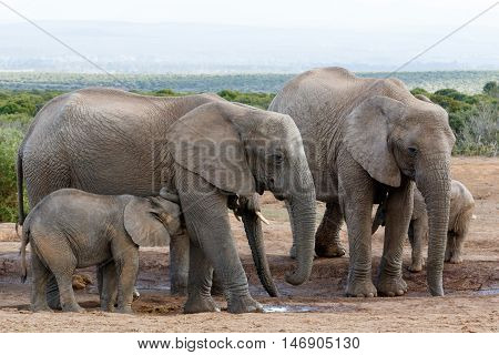 I Need A Drink Mom African Bush Elephants