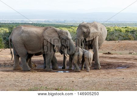 Family Of African Bush Elephant Protecting Their Young