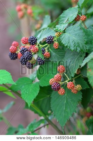 Tasty berry of blackberries growing in the garden. Close-up