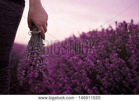 Gathering a bouquet of lavender. Girl hand holding a bouquet of fresh lavender in lavender field. Sun sun haze glare. Purple tinting