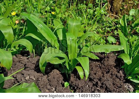 Ramson or wild garlic, lat. allium ursinum