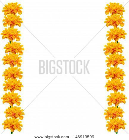 bright colorful flowers marigolds isolated on white background