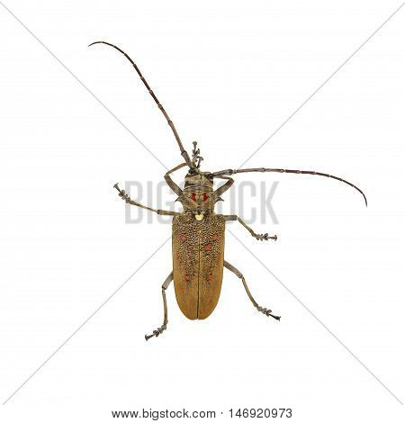 Weaver Beetle Beetle isolated on white background