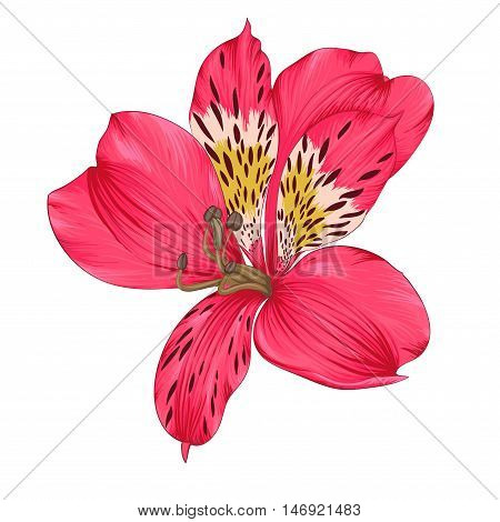 Beautiful bright pink alstroemeria with watercolor effect isolated on white background