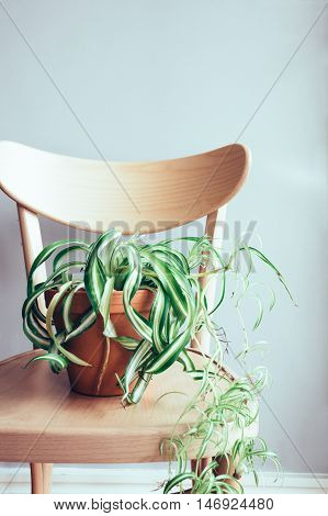 Close up of indoor pot plant on wooden dining chair