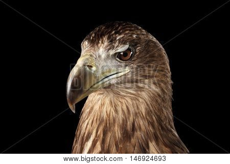 Close-up Head of White-tailed eagle, Looking down, Birds of prey, isolated on Black background