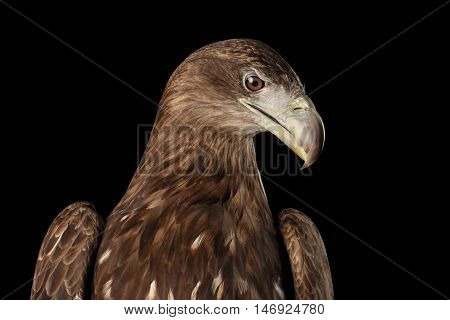 Close-up Head of White-tailed eagle, Sitting and Looking down, Birds of prey, isolated on Black background