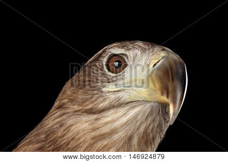 Close-up Head of White-tailed eagle, Raising up, Birds of prey, isolated on Black background