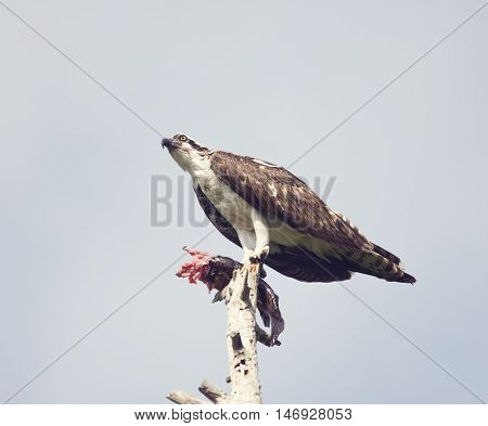 Osprey Feeding On Fish On an old Tree