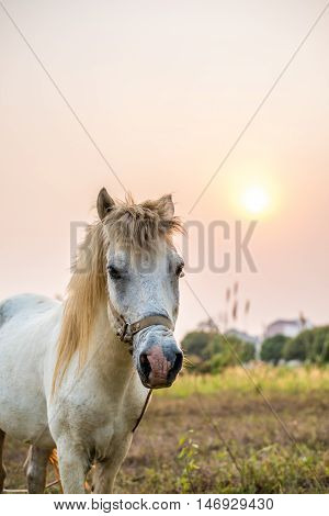 The white horse standing in the farm during the sunset.