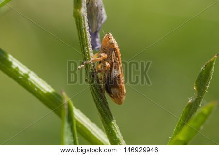 Macro of a tiny brown and biege leaf hopper resting on a plant stem.