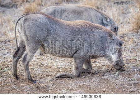 Two Warthogs Eating Grass.