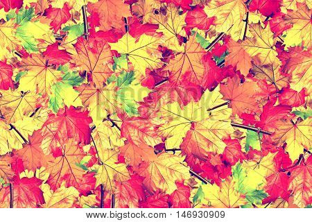 abstract background of autumn leaves of maple