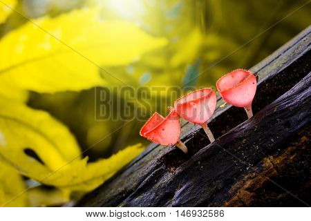 Mushrooms champagne in forest with winter background