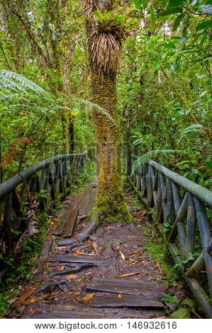 PASTO, COLOMBIA - JULY 3, 2016: big tree in the middle of the path in the national park of la cotora.