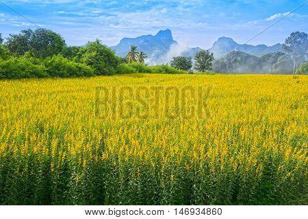 Sunhemp Or Crotalaria Juncea Flower Field With Khao Jeen Lae Mountain Background, Thailand