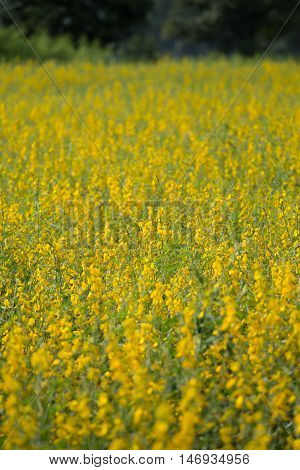 Sunhemp Or Crotalaria Juncea Flower Field