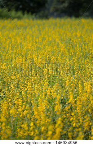 Sunhemp Or Crotalaria Juncea Flower Field