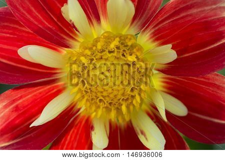 close up of red flower with yellow flower disk