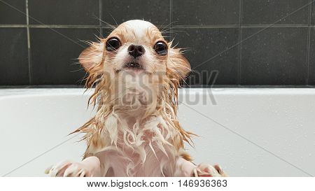 Small Chihuahua Dog Waiting In The Tub